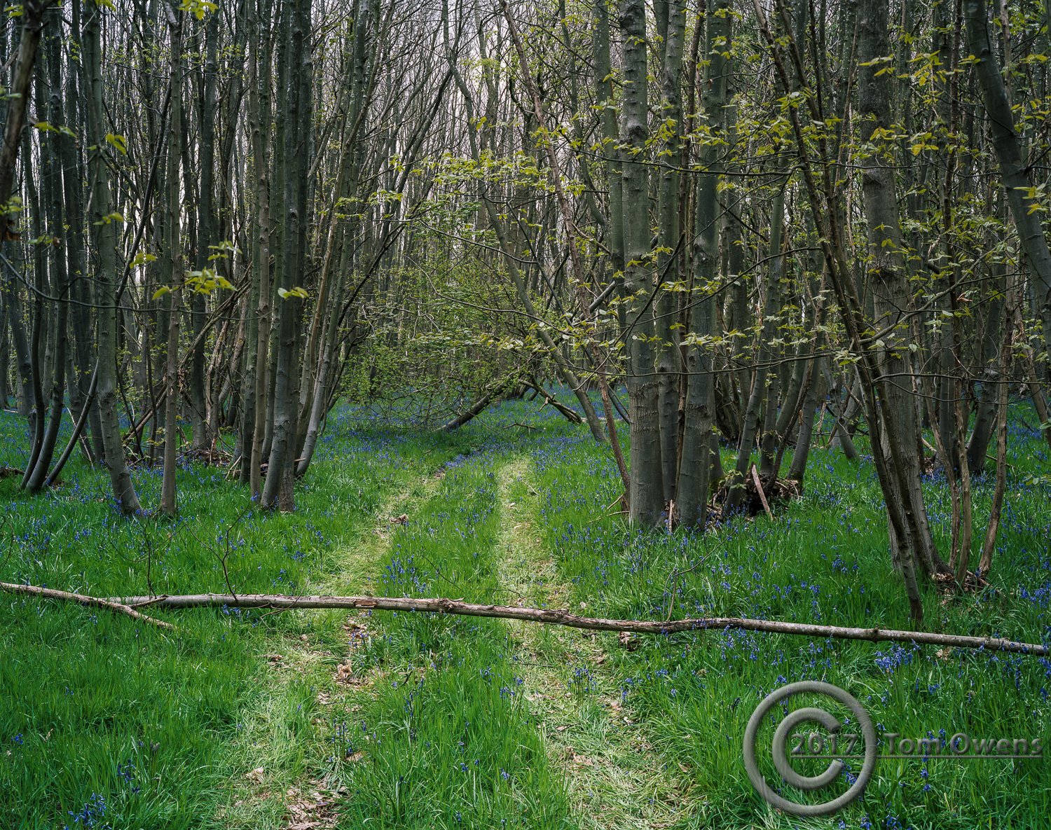 Fallen trea across path in bluebell wood