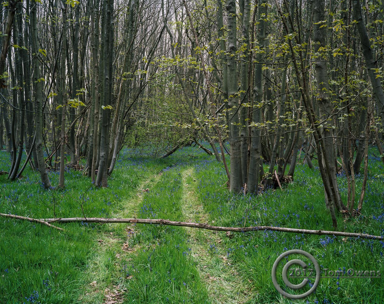 Fallen trea across path in bluebell wood