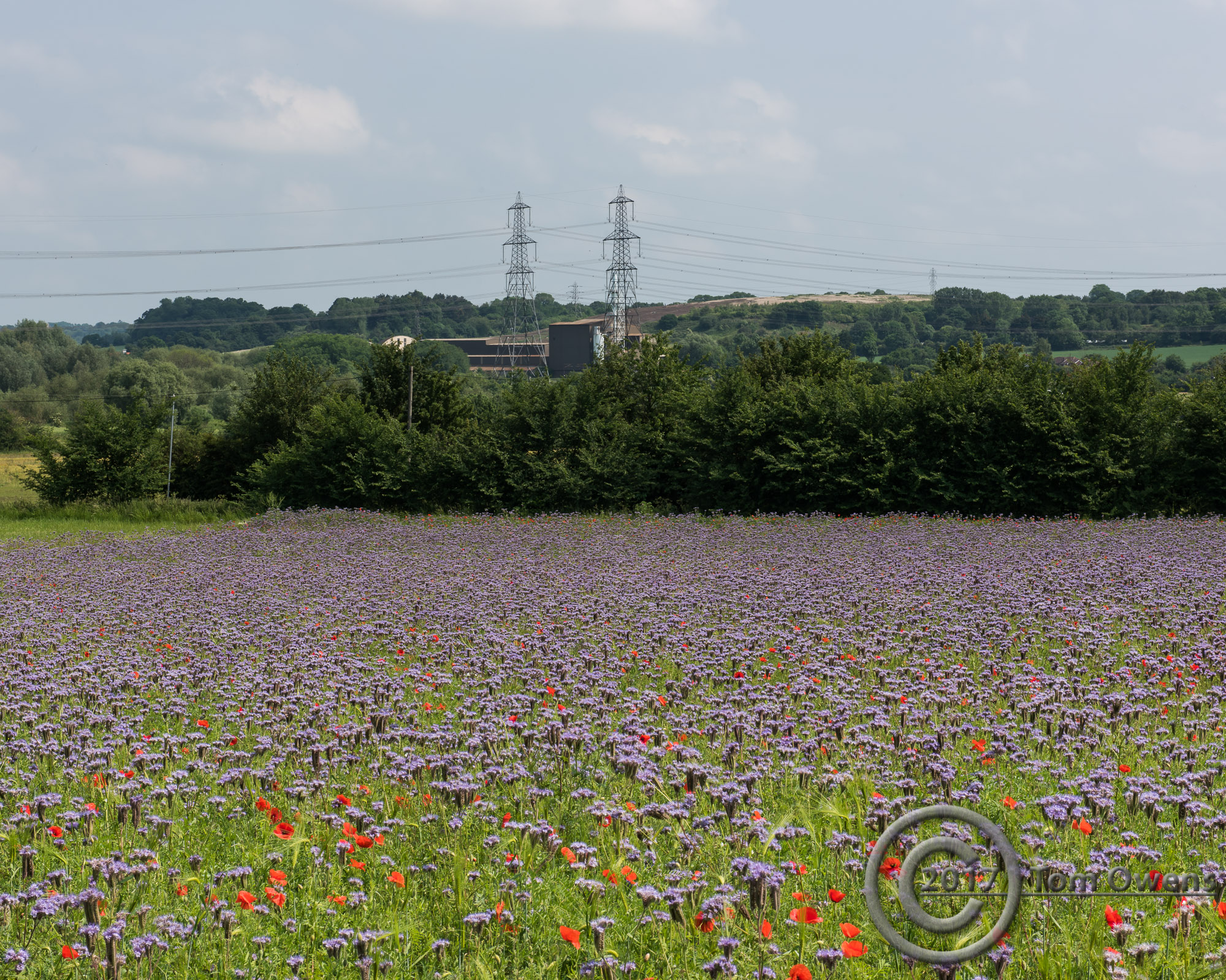 Purple flowers with poppies and power towers with lines