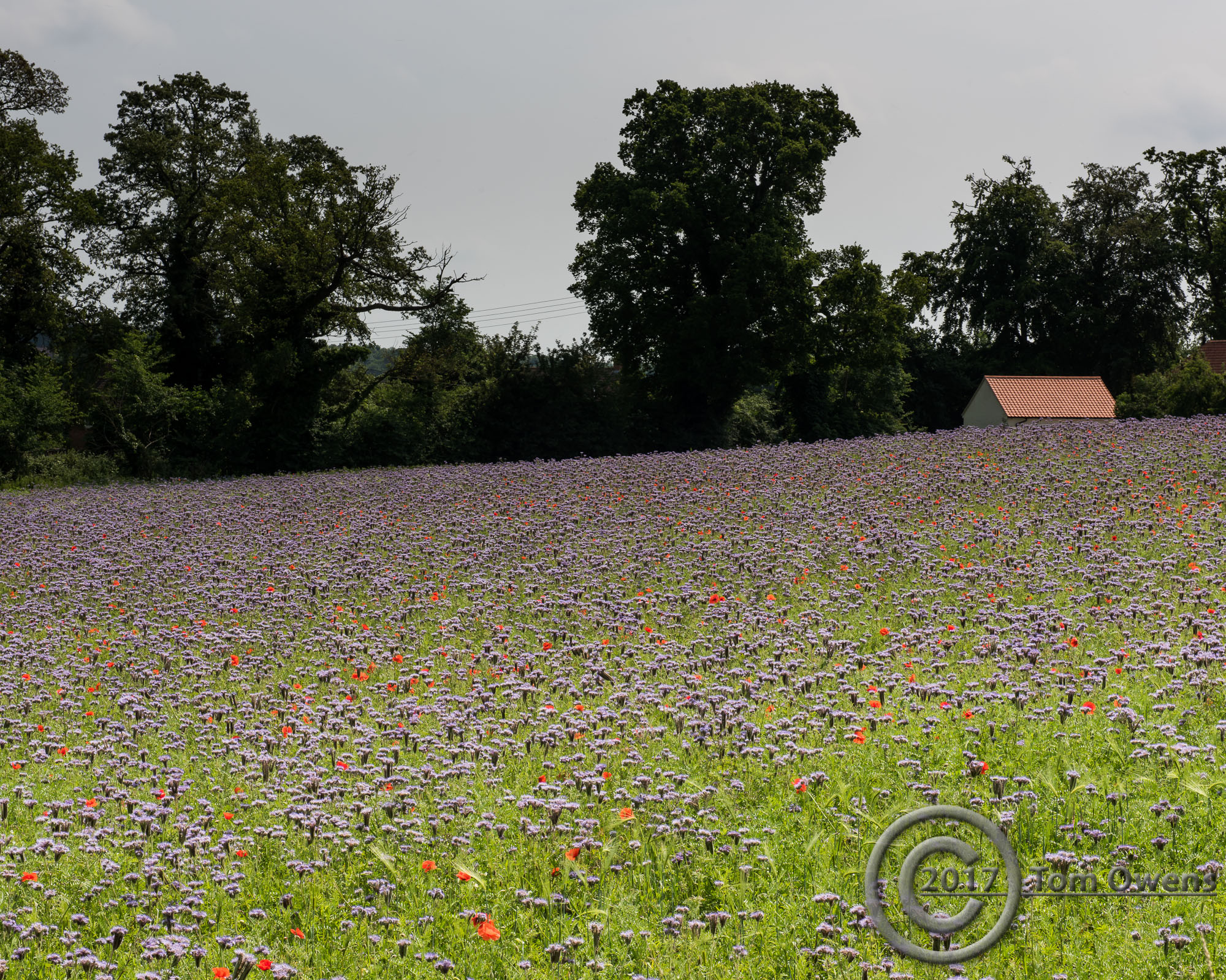 Purple flowers with poppies, trees and clay tiled shed