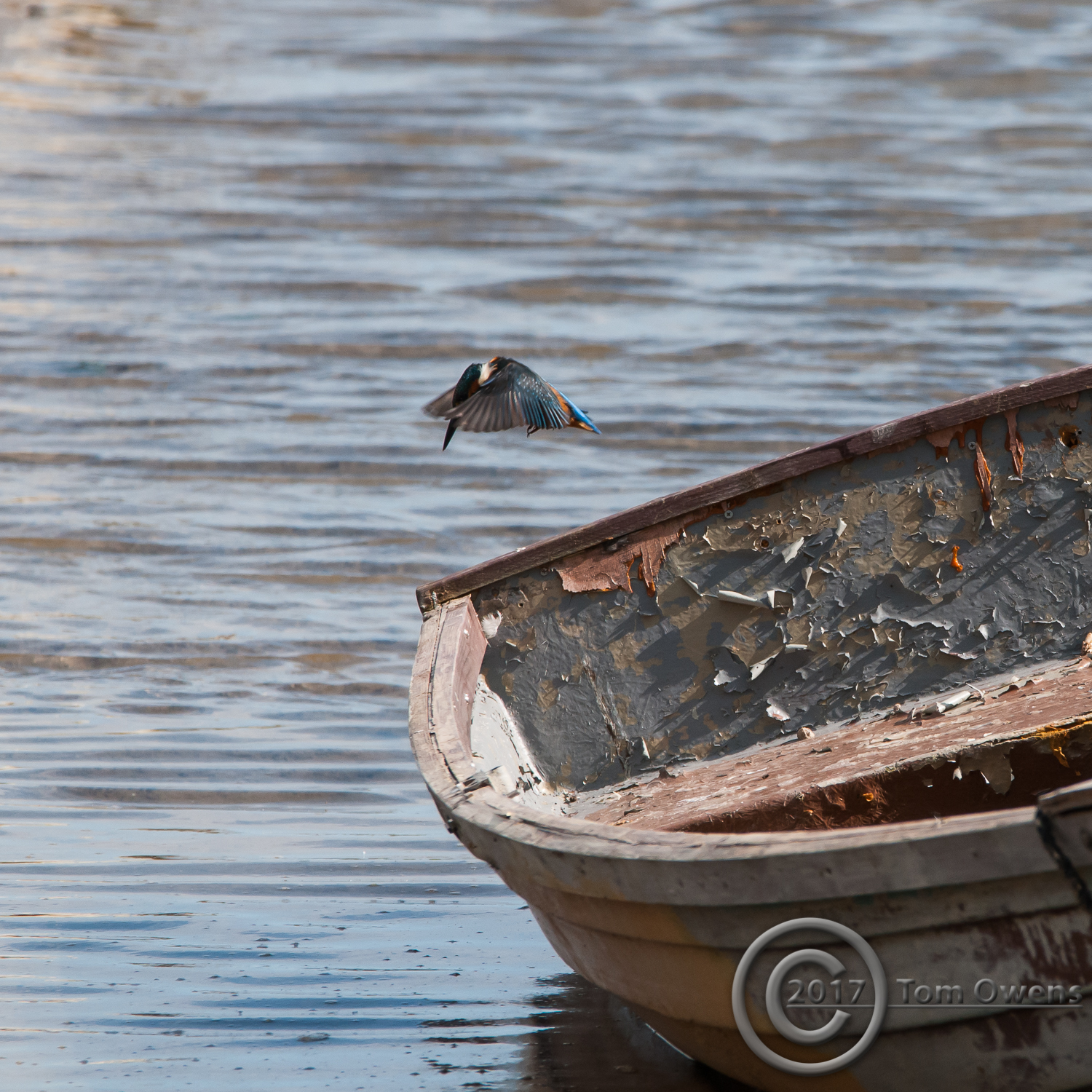Male Kingfisher hovering by th estern of a rowing boat