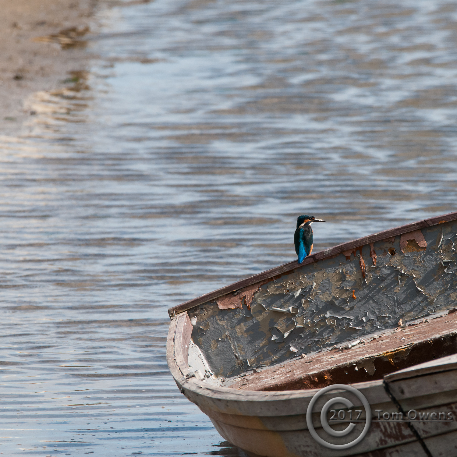 Male Kingfisher perched on transom of rowing boat