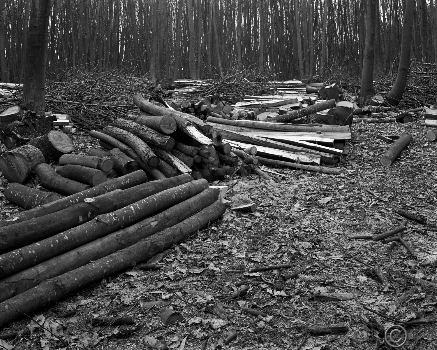 Prepared chestnut coppicing with spend shotgun cartridge in foreground