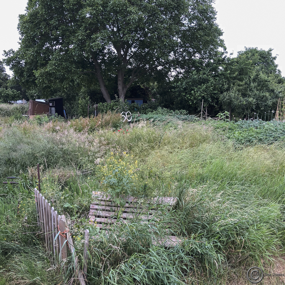 overgrown allotment