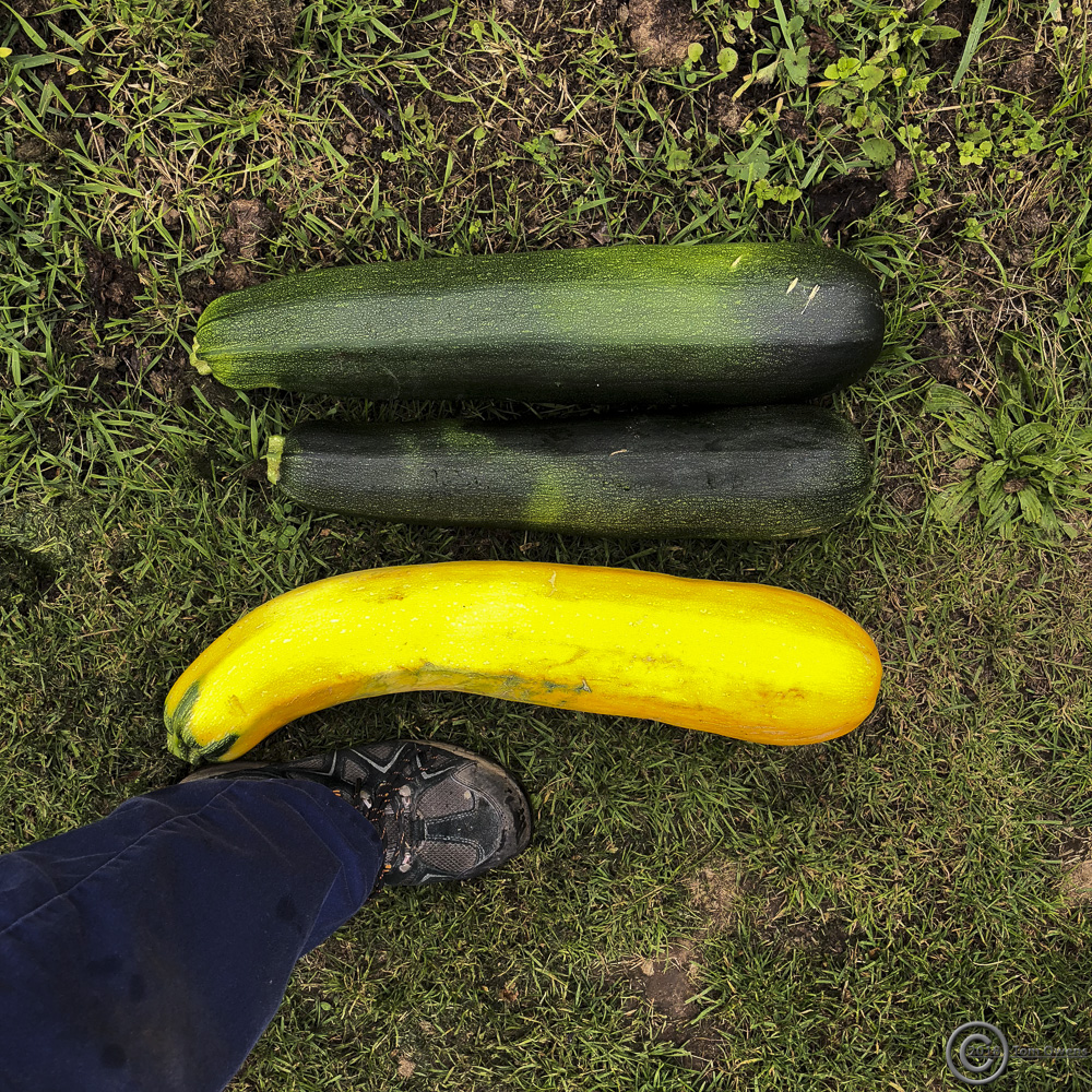 two green and one yellow marrow